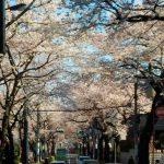 桜も終わり…(;'∀') デイサービス五幸板橋